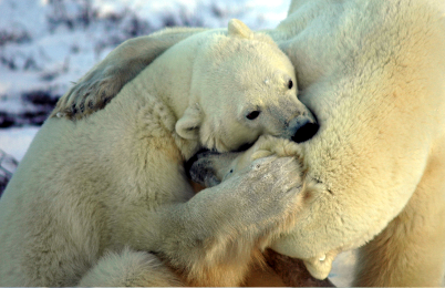 """Bild von Volker Canaris """"Geschöpfe aus Noahs Arche"""" Eisbär"""