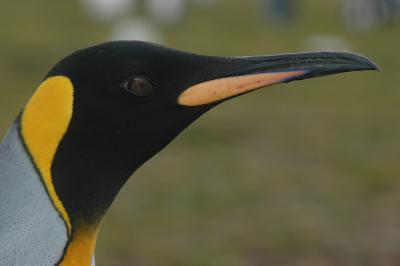 """Bild von Volker Canaris """"Geschöpfe aus Noahs Arche"""" Pinguin"""