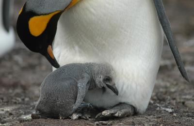 """Bild von Volker Canaris """"Geschöpfe aus Noahs Arche"""" Pinguinjunges"""
